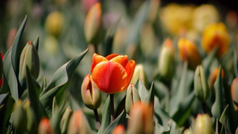 Oranssit tulppaanit kuvituskuva